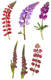 Set of six lupine flowers on white Stock Photography