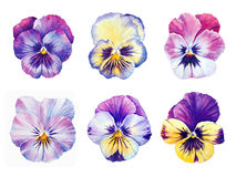 Set of six watercolor Pansies Royalty Free Stock Photography