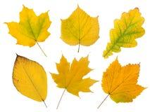 Set of six yellow autumn leaves Stock Photo