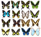 Set of sixteen various vibrant tropical butterflies. Set of sixteen various beautiful tropical butterflies isolated on white Royalty Free Stock Photography