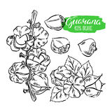 Set of sketch guarana. Beautiful colorful set of sketch guarana. hand-drawn illustration stock illustration
