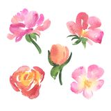 Set of sketch style watercolor pink rose flowers Stock Photos