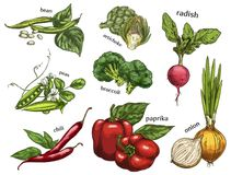 Sketch of artichoke and chilli pepper, peas, beans. Set of  sketches of red chilli pepper and artichoke, radish and peas, broccoli cabbage and paprika, onion and Royalty Free Stock Photography