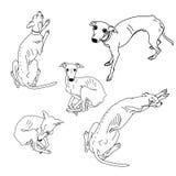 Set of skinny Italian Greyhounds. Dog collection Stock Photos