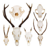 Set of skulls Stock Images