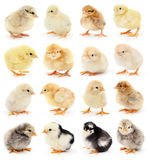Set of small chickens. Stock Photo