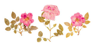 Set of small dried roses pressed Stock Photography