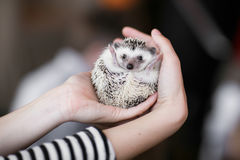 Set. small prickly hedgehog in the hands of people Royalty Free Stock Photo