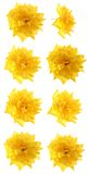 Set, small yellow roses, isolated. Stock Photos