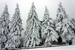 Set of snow-covered firs in Northern Caucasus Stock Photography