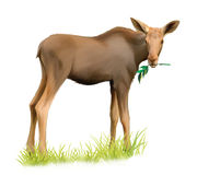 Baby moose eating tree branch. Isolated Illustrati Royalty Free Stock Photography