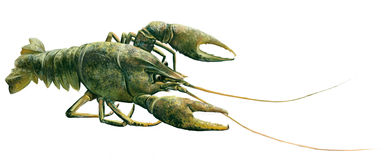 Green Crawfish. Isolated realistic illustration on Royalty Free Stock Image
