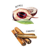 Set of spice, drawing by watercolor, hand drawn illustration. Watercolor hand drawn illustration with different spices Stock Image