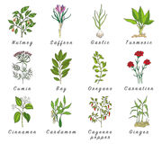 Set of spices, herbs and officinale plants icons. Healing plants. Medicinal plants, herbs, spices hand drawn illustrations. Botanic sketches icons Royalty Free Stock Photos