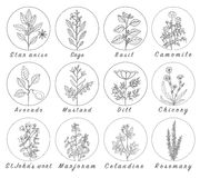 Set of spices, herbs and officinale plants icons. Healing plants. Medicinal plants, herbs, spices hand drawn illustrations. Botanic sketches icons Stock Images