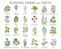 Set of spices, herbs and officinale plants icons. Healing plants Royalty Free Stock Images