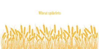 A set of spikelets of golden wheat, rye, barley on a white background of various shapes. Vector illustration Stock Images