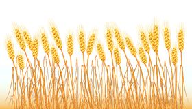 A set of spikelets of golden wheat, rye, barley on a white background of various shapes. Vector. A set of spikelets of golden wheat, rye, barley on a white Stock Image