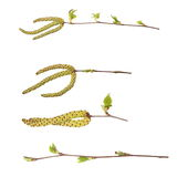 Set spring birch buds isolated on white Stock Image