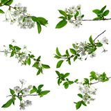 Set for spring design - cherry branches with foliage. Isolated. Blooming cherry. Close-up . Nature wakes up. A set of blooming cherry branches with white flowers royalty free stock image