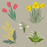 Set of spring flowers on a beige background. There are tulips, daffodils, mimosa, snowdrops and lilies of the valley in the picture. Elements can be used in Stock Photo