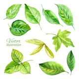 Set of spring leaves watercolor. Vector Stock Photo
