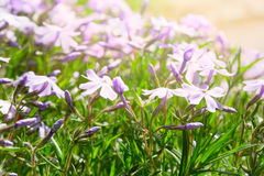 Set of spring lilac phlox flowers last towards to the sun Royalty Free Stock Images