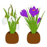 Set of spring snowdrop and crocus bouquets in flowers pots isolated on white. Vector illustration Stock Photography
