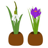Set of spring snowdrop and crocus in flowers pot isolated on white. Vector illustration. Set of spring snowdrop and crocus in flowers pot isolated on white Royalty Free Stock Image