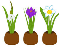 Set of spring snowdrop, narcissus and crocus in flower pots isolated on white. Vector illustration Stock Photo