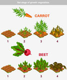Set stage of growth vegetables. Carrot and beet Stock Photography