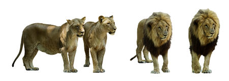 Set of standing lions. Isolated Stock Photos