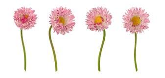 Set stokrotka kwiaty odizolowywający na bielu Obrazy Royalty Free