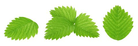 Set of strawberry leaves isolated on a white. Detailed retouch stock photo