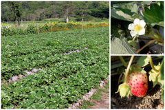 Set of Strawberry tree, flower and fruit farming Stock Photo