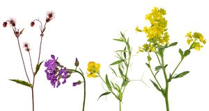 Set of studio isolated four wild flowers Royalty Free Stock Image