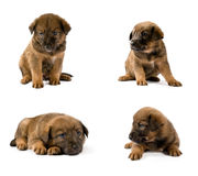 Set of studio portraits of young puppy. Over white stock photo
