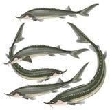 Set of sturgeon fish vector illustration