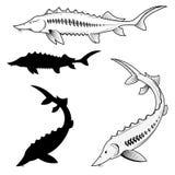 Set of sturgeon vector illustrations Royalty Free Stock Photos