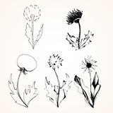 Set of stylized flowers dandelions. Vector, ink, sketch Stock Image