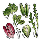 Set of stylized hand-drawn leaves of different varieties of lettuce. Style for eco-store, cafe, restaurant. Colorfull vector illustrations Royalty Free Stock Images