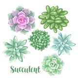 Set of succulents. Echeveria, Jade Plant and Donkey Tails.  Royalty Free Stock Photo