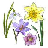 Set of summer flowers, daffodil, snowdrop, crocus, sketch vector illustration. Isolated on white background. Realistic hand drawing of spring flowers with stems Royalty Free Stock Photography