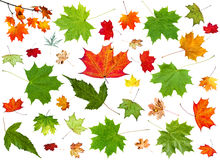 Set of summer green and autumn pied maple leaves Stock Photos