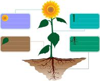 Set sun flower Ecology infographics vector. Design text type of plant flower leaf  trunk and root Royalty Free Stock Photo