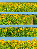 Set of sunflower panoramas Royalty Free Stock Images