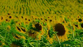 Set Of Sunflowers stock video footage