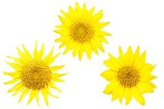 Set of sunflowers isolated on white background Stock Image