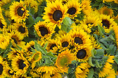 Set of sunflowers. A large bunch of sunflowers grouped together at a farmers market Stock Photography
