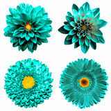 Set of 4 in 1 surreal turquoise flowers: chrysanthemum, gerbera and dahila flowers isolated Royalty Free Stock Photo